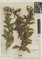 Holotype of Siphocampylus palilloanus Wimmer, F.E. 1924 [family CAMPANULACEAE]
