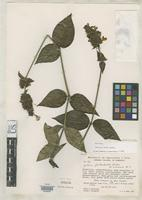 Holotype of Justicia uvida Wasshausen, D.C. 1992 [family ACANTHACEAE]