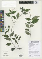 Holotype of Justicia prevostiae Wasshausen, D.C. 2003 [family ACANTHACEAE]
