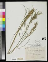 Isotype of Arundinella stipoides Hackel, E. 1884 [family POACEAE]