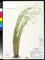 Isotype of Stipa shoshoneana Curto, M. & Henderson, D.M. 1998 [family POACEAE]