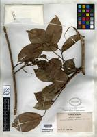 Isotype of Whitfordiodendron sumatranum Merrill, E.D. 1934 [family FABACEAE]