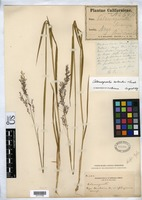 Isotype of Calamagrostis bolanderi Thurber, G. 1880 [family POACEAE]