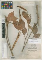 Isotype of Chamaefistula williamsii Britton, N.L. & Rose, J.N. 1930 [family FABACEAE]