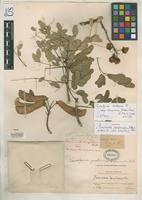 Filed as Poincianella tampicoana Britton, N.L. & Rose, J.N. 1930 [family FABACEAE]