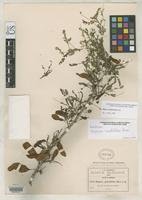 Holotype of Diphysa minutifolia Rose, J.N. 1909 [family FABACEAE]