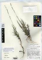 Isotype of Gouldochloa curvifolia Valdés Reyna, J. & et al. 1986 [family POACEAE]