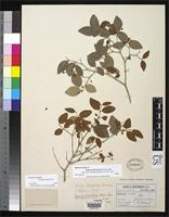 Holotype of Eugenia fiscalensis Donnell Smith, J. 1912 [family MYRTACEAE]
