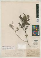 Holotype of Cracca mohrii Rydberg, P.A. 1923 [family FABACEAE]