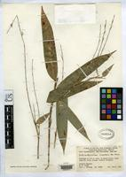 Holotype of Arthrostylidium scandens McClure, F.A. 1963 [family POACEAE]