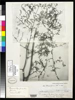 Filed as Dicksonia cicutaria Swartz, O.P. 1801 [family DICKSONIACEAE]