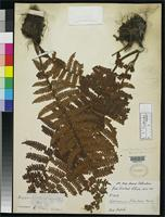 Holotype of Dryopteris centrochinensis Ching, R.C. 1938 [family DRYOPTERIDACEAE]