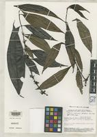 Holotype of Clidemia andersonii Wurdack, J.J. 1989 [family MELASTOMATACEAE]