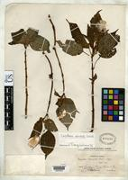 Holotype of Impatiens piemeiselii Exell, A.W. 1930 [family BALSAMINACEAE]