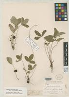 Isotype of Fragaria pauciflora Rydberg, P.A. 1898 [family ROSACEAE]