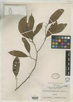 Isotype of Cryptocarya samarensis Merrill, E.D. 1917 [family LAURACEAE]