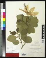Isotype of Hibiscus waimeae Heller, A.A. 1897 [family MALVACEAE]