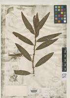 Filed as Polygonum hartwrightii Gray, A. 1870 [family POLYGONACEAE]