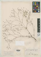 Filed as Arenaria howellii Watson, S. 1885 [family CARYOPHYLLACEAE]