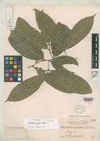 Isolectotype of Cleistanthus everettii Robinson, C.B. 1908 [family EUPHORBIACEAE]