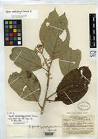 Isotype of Styrax pseudargyrophyllus Sleumer, H.O. 1937 [family STYRACACEAE]