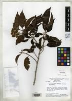 Holotype of Miconia collatata Wurdack, J.J. 1974 [family MELASTOMATACEAE]