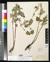 Holotype of Vleckia occidentalis Piper, C.V. 1898 [family LAMIACEAE]