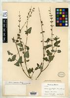 Isotype of Salvia ageratifolia Fernald, M.L. 1901 [family LAMIACEAE]