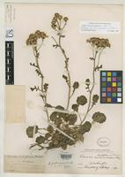 Holotype of Senecio fraternus Piper, C.V. 1906 [family ASTERACEAE]