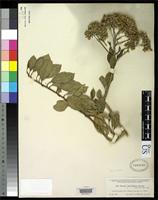 Isotype of Senecio calyculatus Greenman, J.M. 1904 [family ASTERACEAE]