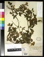 Filed as Calea trichotoma Donnell Smith, J. 1888 [family ASTERACEAE]