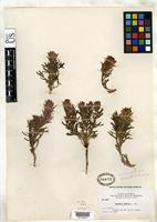 Isotype of Castilleja buffumii Nelson, A. 1909 [family SCROPHULARIACEAE]