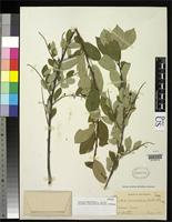 Holotype of Padus mescaleria Wooton, E.O. & Standley, P.C. 1913 [family ROSACEAE]