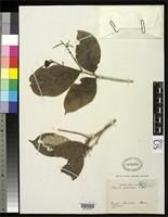 Isolectotype of Licania canescens Benoist, R. 1919 [family ROSACEAE]