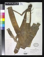Holotype of Aechmea nudicaulis var. aequalis Smith, L.B. & Reitz, R. 1963 [family BROMELIACEAE]