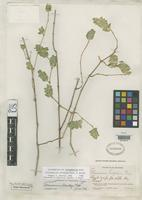 Holotype of Tetramerium standleyi Happ, G.B. 1937 [family ACANTHACEAE]