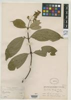 Isotype of Psychotria bangii Rusby, H.H. 1893 [family RUBIACEAE]