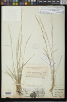 Lectotype of Stipa occidentalis Thurber, G. 1871 [family POACEAE]