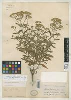 Isotype of Stevia palmeri Gray, A. 1886 [family ASTERACEAE]