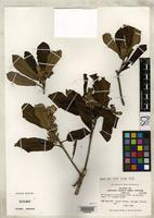 Isosyntype of Pittosporum crassifolium Banks, J. & Solander, D.C. 1839 [family PITTOSPORACEAE]