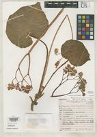 Isotype of Begonia pluvialis Smith, L.B. 1999 [family BEGONIACEAE]