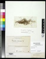 Filed as Ramalina subanceps Nylander, W. 1876 [family RAMALINACEAE]