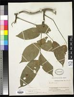 Lectotype of Lonchocarpus sylvestris Smith, A.C. 1937 [family FABACEAE]