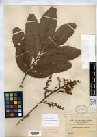 Isolectotype of Cupania semidentata Radlkofer, L. A. 1898 [family SAPINDACEAE]