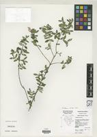 Isotype of Abelia occidentalis Vallarreal, J.A. 1997 [family CAPRIFOLIACEAE]
