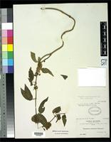 Filed as Vincetoxicum umbellatum Rusby, H.H. 1896 [family ASCLEPIADACEAE]