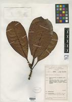 Isotype of Psychotria archboldii Sohmer, S.H. 1988 [family RUBIACEAE]