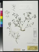Filed as Galium nebulosum Boissier, P.E. 1843 [family RUBIACEAE]
