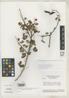 Isotype of Cassia zygophylloides var. colligans Irwin, H.S. & Barneby, R.C. 1978 [family FABACEAE]