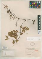 Isotype of Caesalpinia szechuanensis Craib, W.G. 1914 [family FABACEAE]